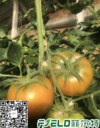 西红柿膨果水溶肥用哪种