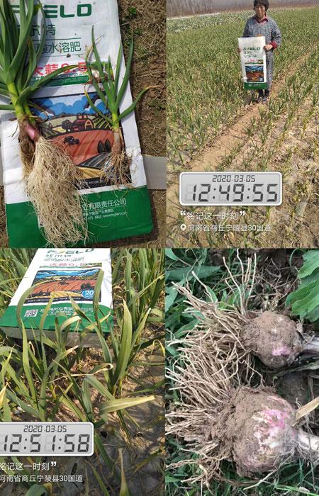 菲爾特大蒜沖施肥6.5使用后根系發達葉片發綠蒜頭膨大好