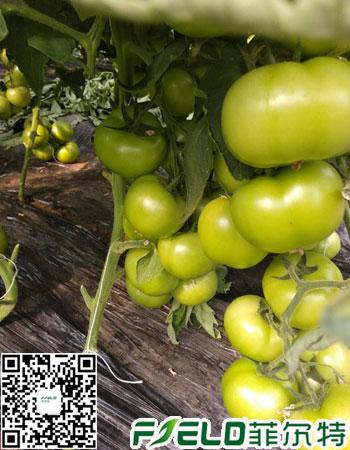 西红柿膨果水溶肥怎么用