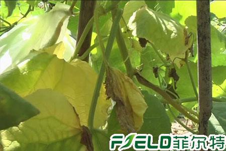 夏季雨水多导致的蔬菜症状